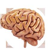 Mózg ludzki