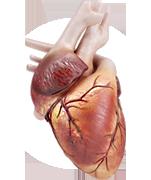 Serce ludzkie